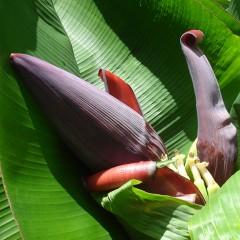 Banana Flower, Mauritius