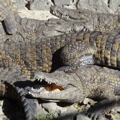 Crocodile Park, Mauritius