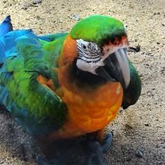 Parrot, Casela, Mauritius