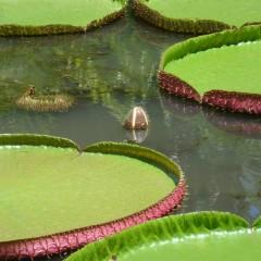 Pamplemousse Gardens, Mauritius