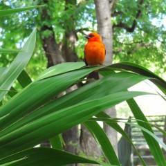 Orange Bird, Mauritius